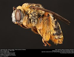 Long-horned bee, female (Apidae, Svastra petulca (Cresson)) (35517635900).jpg