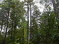 Long standing Pine trees (with mix of others).jpg