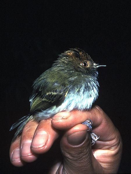 Ficheiro:Lophotriccus pileatus - Ecuador.jpg