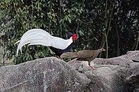 Lophura nycthemera, Exiandong reserve, Fujian 1.jpg