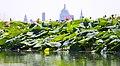 Loto e fiori di loto. Dietro, Mantova - panoramio.jpg