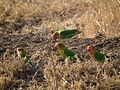 Lovebirds in Tanzania 3494 Nevit.jpg