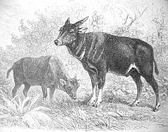 Lowland Anoa Drawing historic.jpg