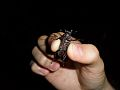 Lucanus elaphus adult female Wake Forest, North Carolina.jpg