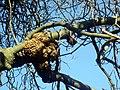 Lumpy growth on tree - geograph.org.uk - 619757.jpg