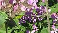 Lunaria annua frucht 2.jpg