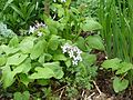 Lunaria rediviva - Flickr - peganum.jpg