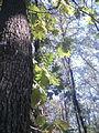 Lunjevac, Lunjevačka šuma, 04.jpg
