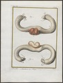 Lupus orientalis - anatomie - 1700-1880 - Print - Iconographia Zoologica - Special Collections University of Amsterdam - UBA01 IZ22200379.tif