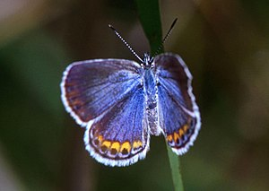 Miller Beach - The Karner Blue, an endangered species of butterfly.  The Karner Blue makes its home in the rare dune-and-swale habitat in Miller Woods.