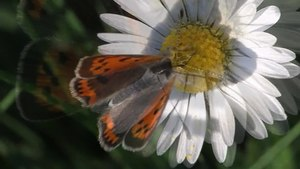 File:Lycaena phlaeas - Wollenberg 2011.ogv