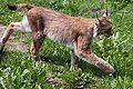 Lynx lynx-2.JPG