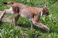 Le Lynx chasseur dans LYNX
