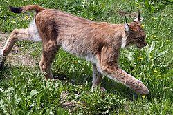 معلومات عن حيوان الوشق 250px-Lynx_lynx-2.JP
