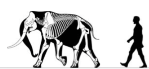 Biological rules - The pygmy mammoth illustrates the island rule (Foster's rule), being unusually small to suit the resources of its island home.