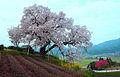 MG 9670 百年桜.JPG