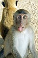 Macaca fascicularis Ao Nang 3.jpg