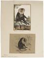 Macacus silenus - 1700-1880 - Print - Iconographia Zoologica - Special Collections University of Amsterdam - UBA01 IZ20000093.tif