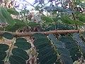 Machaerium amplum - Fabaceae - arbusto escandente espinescente 04.jpg