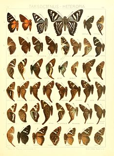 <i>Ridens</i> genus of insects