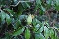 Magnolia-grandiflora-IMG 7154.jpg