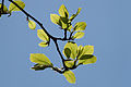 Magnolia × soulangeana 'Alexandrina'.jpg