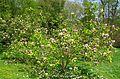 Magnolia x soulangeana 'Rustica Rubra' by Line1.jpg
