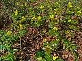 Mahonia aquifolium 001.JPG