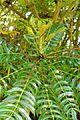 Mahonia oiwakensis - Savill Garden - Windsor Great Park, England - DSC06368.jpg