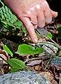 Maianthemum canadense (14583351937).jpg