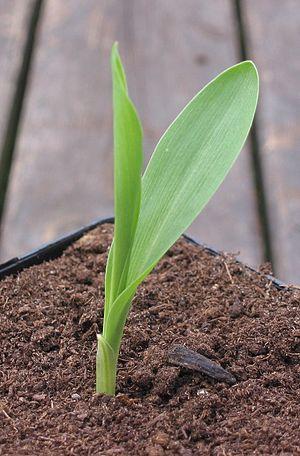 Muisca cuisine - Fica; maize leaf