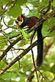 Malabar giant squirrel (1) by Joseph Lazer.jpg