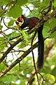 Malabar giant squirrel (1) by Joseph Lazer.jpg