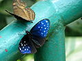 Malaysia - KL Butterfly Gardens - 06 (5208370319).jpg