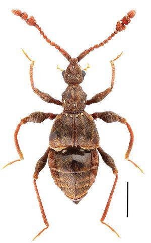 Pselaphinae - Image: Male habitus of Labomimus mirus Zoo Keys 251 083 g 001 C