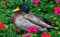Mallard Duck in Flowers ABDS-DK-MD-11.jpg