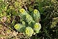 Malta - Marsaxlokk - Triq Delimara - Xrobb L-Ghagin - Euphorbia pinea 05 ies.jpg