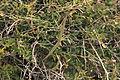Malta - Mellieha - Triq tad-Dahar - Periploca angustifolia 02 ies.jpg