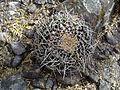 Mammillaria magnimamma (vagaspina) (5692748938).jpg