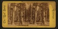 Mammoth Trees. The Sentinels, each over 300 ft. high, from Robert N. Dennis collection of stereoscopic views.png