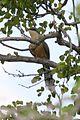 Mangrove Cuckoo (Coccyzus minor) (6499240771).jpg