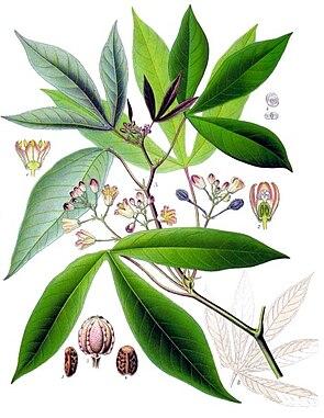 Maniok (Manihot esculenta), Illustration aus Köhler's Medizinal-Pflanzen