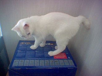 Manx cat - A longy (and rare all-white) Manx female