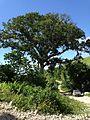 Mapou tree in Petit-Goave, Haiti.jpg