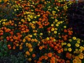 Marigolds, Dye Garden, Horniman Museum, Forest Hill.jpg