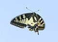 Mariposas rey en vuelo 06 - Swallowtail - Papilio machaon (433903153).jpg