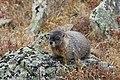 Marmota flaviventris (29270149754).jpg