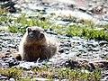 Marmotte StJeanDArves.jpg