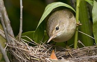 Marsh warbler - Marsh warbler with a cuckoo nestling.