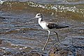 Marsh sandpiper (Tringa stagnatilis).jpg